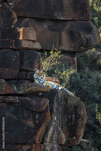 Aluminium Tijger Tiger resting on the rocks in Tiger Canyon Game Reserve in South Africa