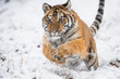 Young Siberian tiger running  and jumping across snow fields