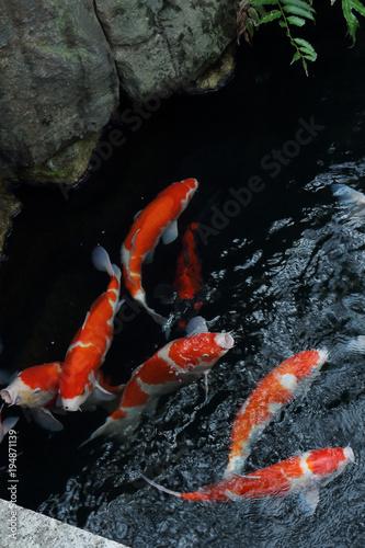 Tuinposter Tokio Japanese carps in the pond