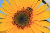 Sonnenblume in Straelen Deutschland
