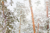 wonderful winter coniferous forest on a sunny snow day