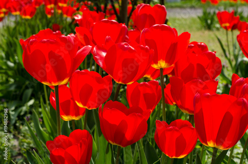 Poster Rood Glade of tulips