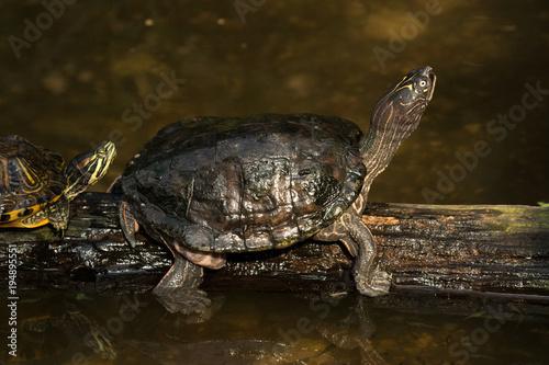 Aluminium Kikker Schildkröte