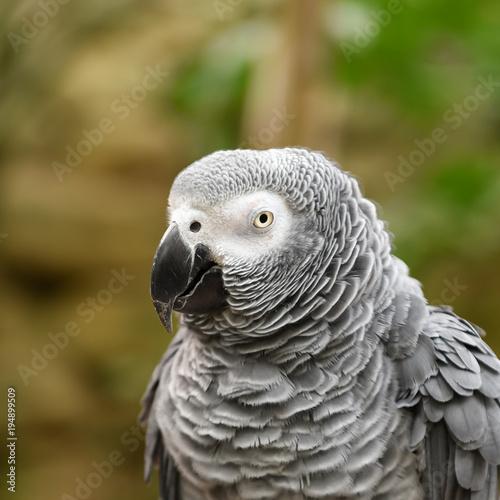Aluminium Papegaai Close-up head shot of african grey parrot head, square