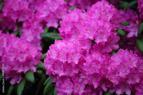 Aluminium Azalea Pink azalea flower