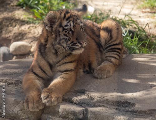 Aluminium Tijger Tiger cub looking left