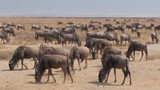 A large herd of wildebeest migrating in the Serengeti, Tanzania. - 194920368