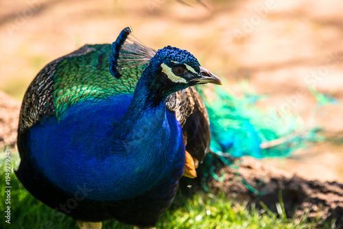 Aluminium Pauw Male Peacock