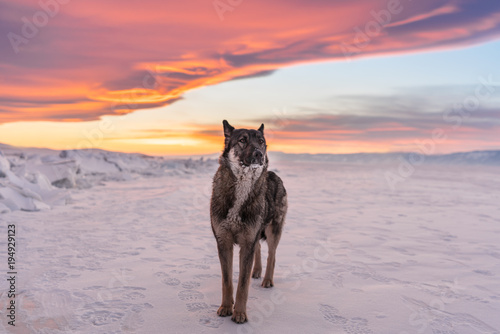 Aluminium Wolf Wolf standing on snow in sunset at frozen lake Baikal in Russia