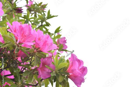 Aluminium Azalea ツツジの花