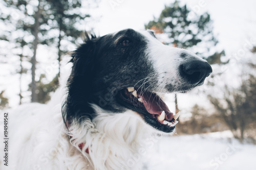 Dog portrait, open mouth Borzoi dog