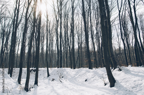 Winter forest landscape. High trees, and snow covered ground.