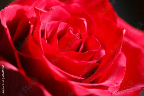 Bright Red Rose Bud