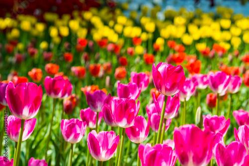 Tuinposter Roze チューリップの花畑
