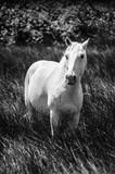 Weißes Pferd in der Camargue in schwarzweiß