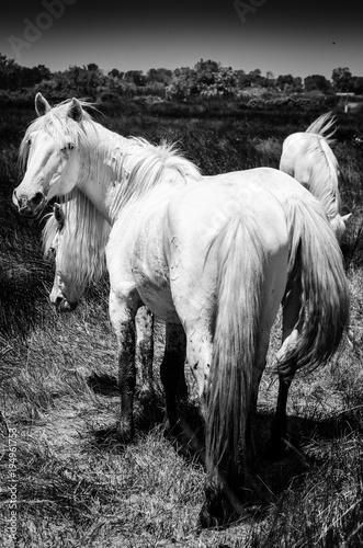 biale-konie-w-camargue-w-czerni-i-bieli