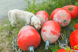 A white wire-haired dog of spinone italiano breed poses for a portrait over background of red plastic buoys on the coast of Vallisaari island in Finland