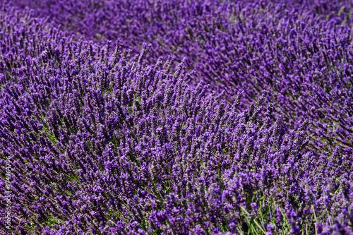 Aluminium Lavendel campo di lavanda in provenza