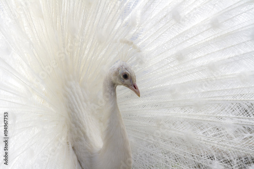 Aluminium Pauw White peacock. Closeup image