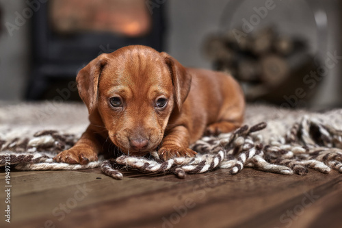 Puppy brown dachshund on a light carpet on the background of a fireplace and firewood