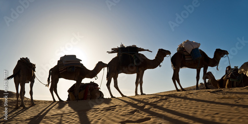 Aluminium Kameel Camels in the Sand dunes desert of Sahara, South Tunisia
