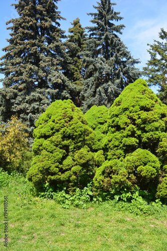 Foto op Canvas Lime groen Picea glauca Conica in cozy garden landscape design.