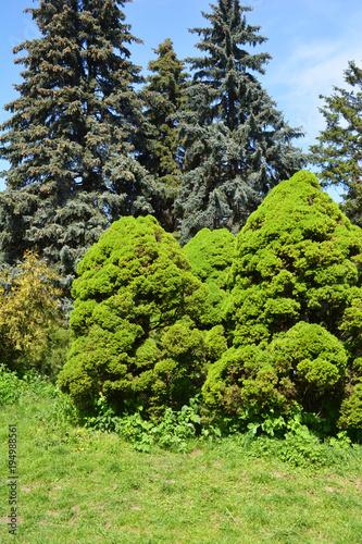 Keuken foto achterwand Lime groen Picea glauca Conica in cozy garden landscape design.