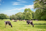 Norman cows grazing on grassy green field with trees on a bright sunny day in Normandy, France. Summer countryside landscape and pasture for cows - 194991385