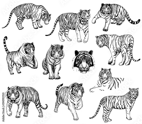 Fototapeta Set of hand drawn sketch style tigers. Vector illustration isolated on white background.