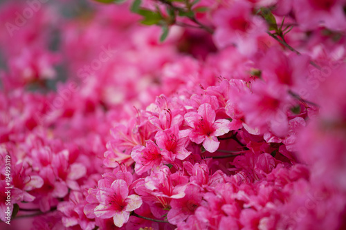 Aluminium Azalea Bright pink rhododendron flowers with raindrops