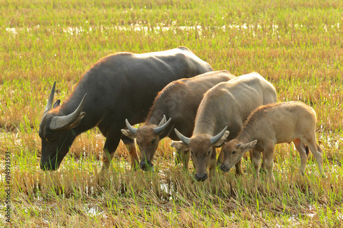 Aluminium Neushoorn water buffalo eating grass on the field in the morning.