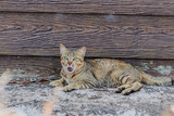 cat yawning near the wall of the house - 194999773