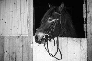 Black and white portrait of a horse in stable