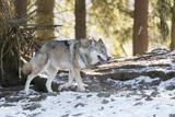 Wolf - 195007140