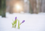 The first spring flowers in the snow on a forest glade. Evening soft sunlight through the trees.