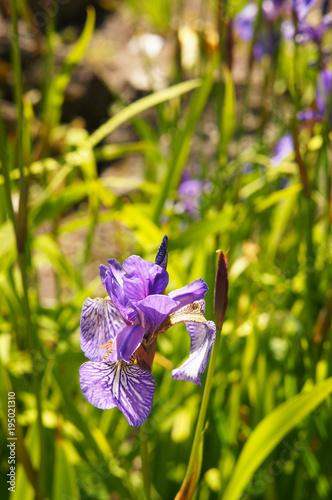 Fotobehang Iris Iris sibirica purple flowers on green background