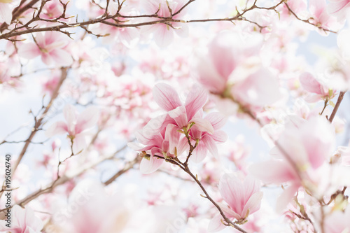 Fototapeta Beautiful spring nature scene with pink blossoming. Magnolia blooming