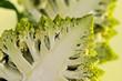 A half of a Romanesco broccoli (also known as Roman cauliflower)