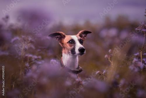 Windhund in Blumenfeld