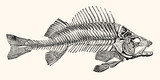 Skeleton of a Fish Artwork - Vintage Early 1800 Nautical Line Art