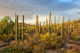 Cactus thickets in the rays of the setting sun, Saguaro National Park, southeastern Arizona, United States. - 195044379