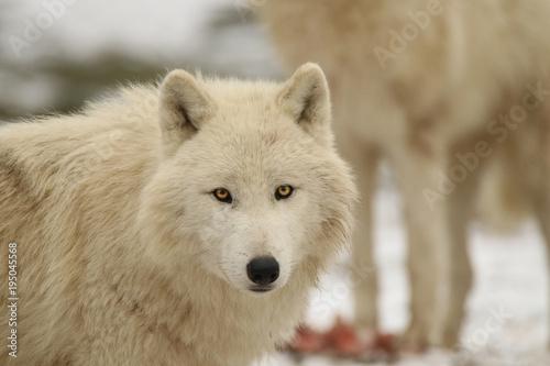 Fotobehang Wolf Loups blancs en hiver