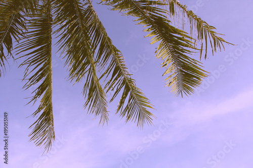 Aluminium Purper palm trees are in the tropics. palm grove. branch. close up. leafs