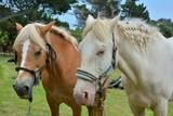 Chevaux pendant le pardon aux chevaux de l'île Saint-Gildas en Bretagne - 195057781