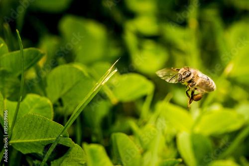 Fotobehang Bee Bee collecting flower pollen