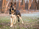 A purebred German Shepherd dog outdoors - 195062906