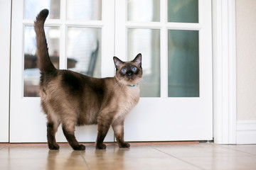 A purebred Siamese cat with seal point markings and blue eyes