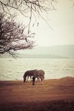 Safari - Zebras