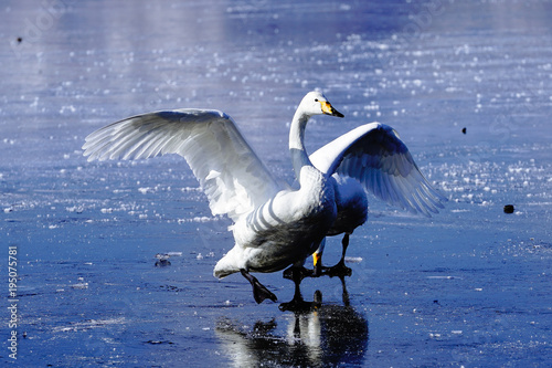 Aluminium Zwaan 屈斜路湖の白鳥