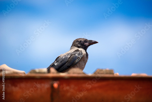 Foto op Canvas Natuur The hooded crow